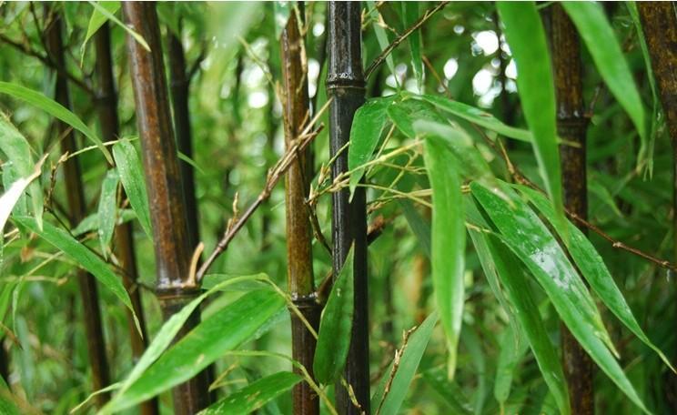 山东潍坊绿化竹子生产基地首选青州市桂竹园