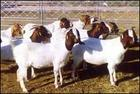 波尔山羊  波尔山羊  波尔山羊
