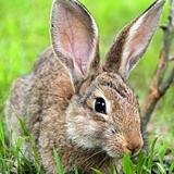 汾阳种兔黑兔价格