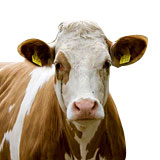 合肥2016年小牛价格