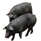 云浮市黑色种母猪