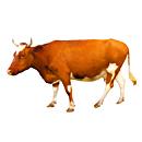 清涧县肉牛养殖繁育基地