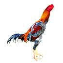 北京斗鸡种鸡图片养殖场
