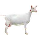 北京大型奶山羊养殖基地