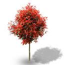 潢川红叶石楠苗种植