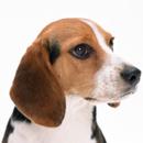 马犬幼崽营口成年马犬